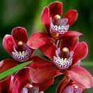 Нота Амазонская орхидея