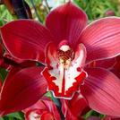 Нота Красная орхидея