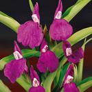 Нота Имбирная орхидея