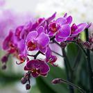 Нота Орхидея