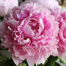 Нота Розовый пион
