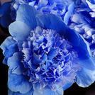 Нота Голубой пион