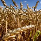 Нота Пшеница