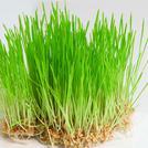 Нота Ростки пшеницы