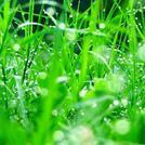 Нота Росяная трава