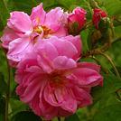 Нота Таифская роза