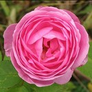 Нота Бурбонская роза