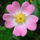 Нота Роза канина