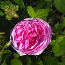 Нота Роза столистная