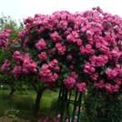 Нота Розовое дерево