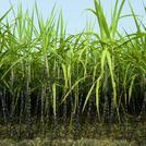 Нота Сахарный тростник