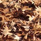Нота Сухие листья