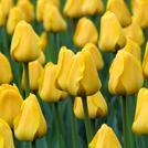 Нота Желтый тюльпан