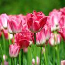 Нота Розовый тюльпан