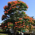 Нота Тюльпановое дерево