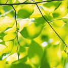 Нота Весенняя зелень