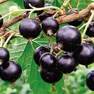 Нота Ветви черной смородины