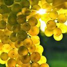 Нота Белый виноград