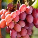 Нота Розовый виноград