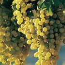 Нота Виноград