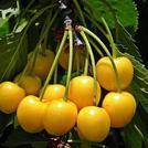 Нота Желтая вишня