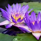 Нота Водяные цветы