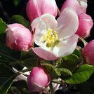Нота Яблоневый цвет