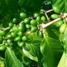 Нота Зеленый кофе