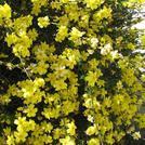 Нота Желтый жасмин
