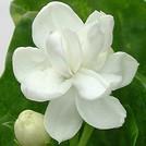 Нота Гавайский жасмин