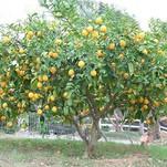 Нота Древесина лимонного дерева