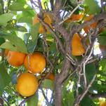 Нота Древесина мандарина