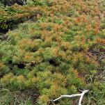 Нота Кедровый мох