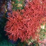 Нота Красные водоросли