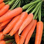 Нота Морковь