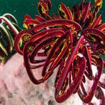 Нота Морские лилии