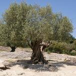 Нота Оливковое дерево