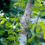 Нота Сандаловое дерево