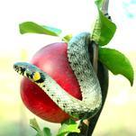 Нота Запретное яблоко